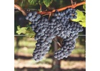 Brehm Fruit - Merlot - Pigasus Vineyard, Sonoma Mountain AVA, Sonoma Valley, CA 2019